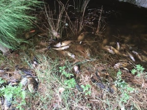 Thousands of fish die in the Macleay