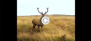 Drone Footage of a Wandering Red Stag