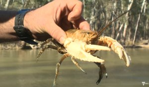 VIDEO: Conserving a Murray River icon