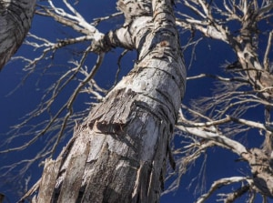 Sudden death: we're losing our snow gums and other eucalypts