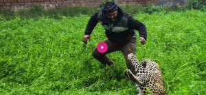 Leopard on the Prowl in an Indian City of 800000