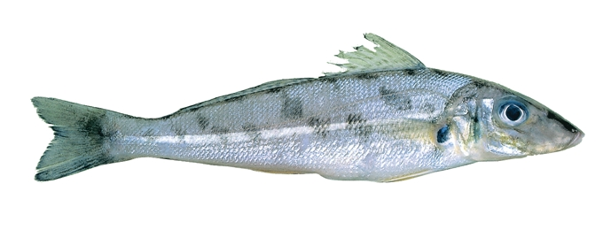 Fish ID - Know your whiting - Fishing World